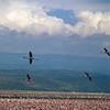 Flamingoes in Flight - Lake Nakuru