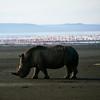 Black Rhinoceros (2)