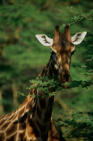 Rothschild Giraffe Feeding at Nakuru 2