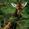 Rothschild Giraffe Feeding at Nakuru 2