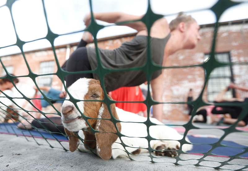 A goat chews on the plastic fence that surrounds participants during goat yoga at Last Chance Cider Mill in Billings, MT on May 30, 2018. Sara Hollenbeck and Callie Feakin organized the event to raise money for The Yellowstone Valley Food Hub, a collective of farmers and ranchers that sell and support locally sourced food.