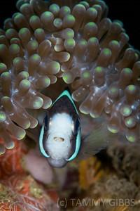 Anemonefish with tongue parasite
