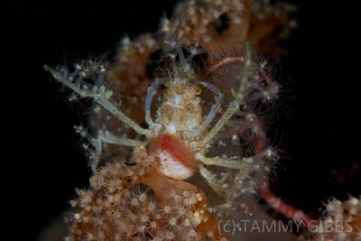 Decorator Crab chillin'