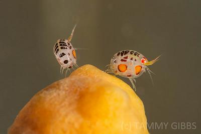 Ladybug Amphipods