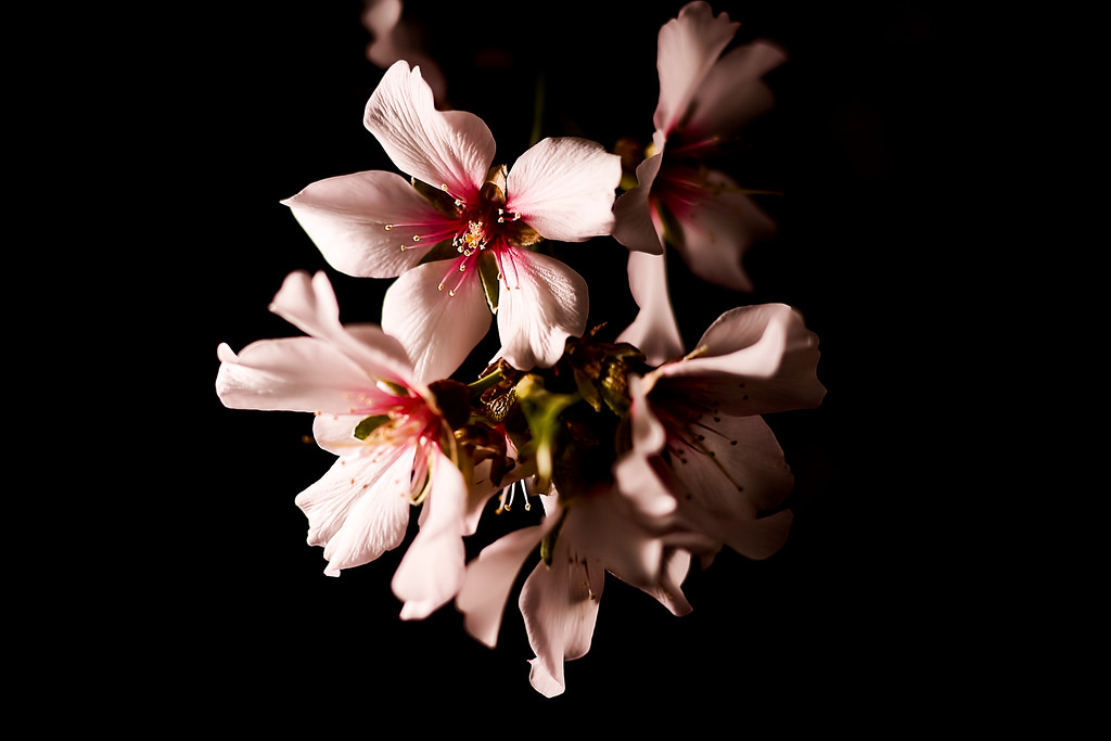 52/365  I see a branch of an almond tree... - © Simpson Brothers Photography