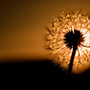 50/365 Taraxacum - © Simpson Brothers Photography
