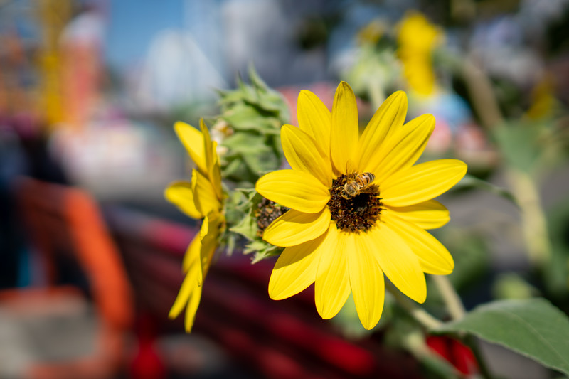 A bee and flower at the LA County Fair
