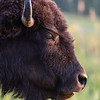 """American Bison"""