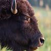 """American Buffalo"""