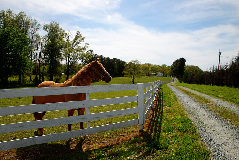 Horse at White Picket Fence<br /> Indian Trail, NC