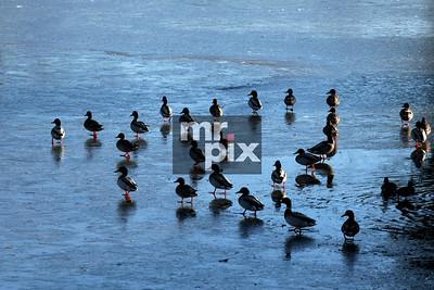 Environment - ducks