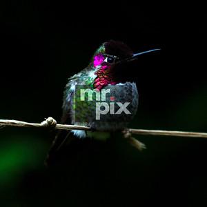 Hummingbird Steve