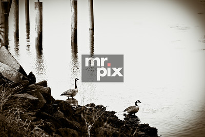 Nature photography - Canadian Geese
