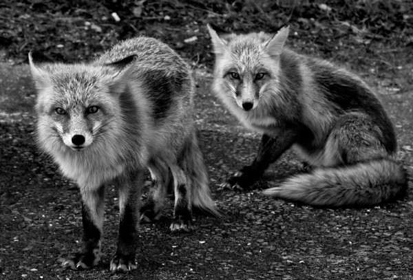 Jersey Foxes