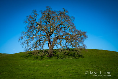 California Oak, Napa
