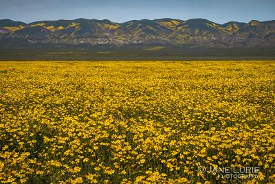 A Field of Goldfields, Carrizo Plain