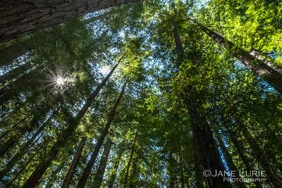Redwood Grove, Humboldt