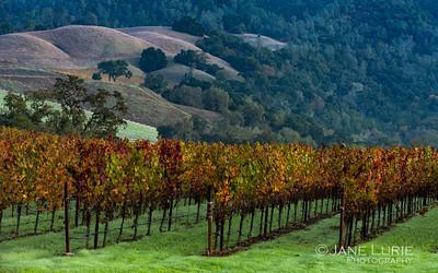 Autumn Vineyard, Sonoma