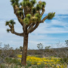 Joshua Tree with carpet of Yellow Coreopsis