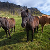 <H3>Icelandic Horses </H3> Such gentle, friendly and curious creatures roaming the countryside. Icelandic Horses have been bred over centuries back since Vikings settled in the island. The really look like they can see through the harsh winters...but at the moment, they're just happy campers enjoying some sun.