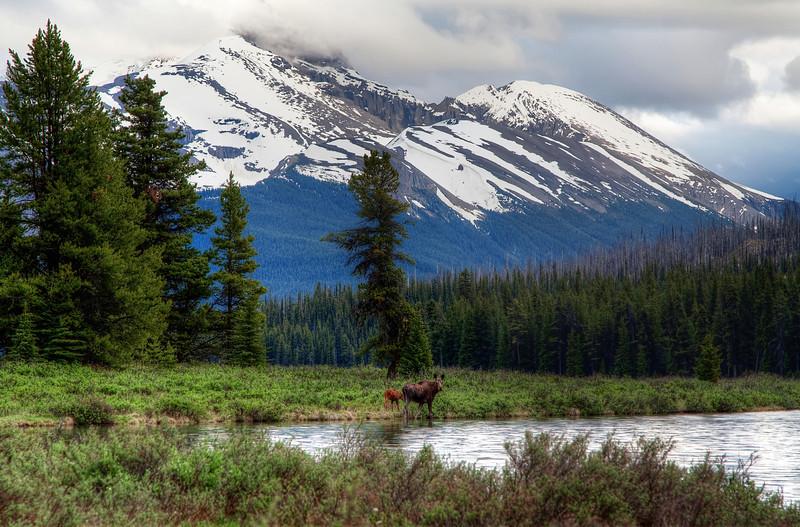 Moosewatching at Maligne Lake