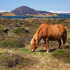 <H3> - Horse grazes by Lake Myvatn - </H3> This region in Northern Iceland is quite bizarre in its landscape - full of volcanic formations, active multicolored geothermal areas, craters and wildlife - particularly rich in birdlife (and mosquitoes!). This handsome beast is taking it all in - Lake Myvatn in the background