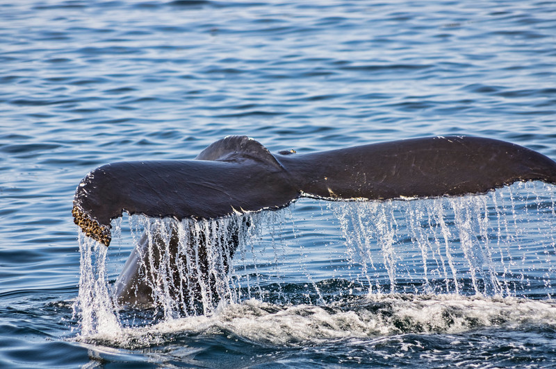 Bottleneck's Tail, Bar Harbor Whale Watch Tours