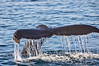 Bottleneck's Tail, Bar Harbor Whale Watch Tours