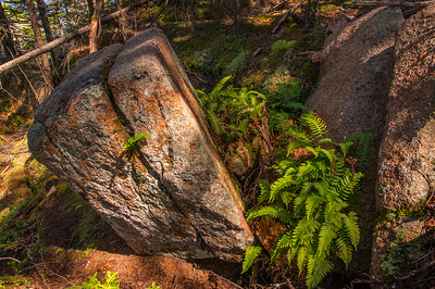 Flying Mountain Loop Trail Ferns 1, Acadia National Park, Maine