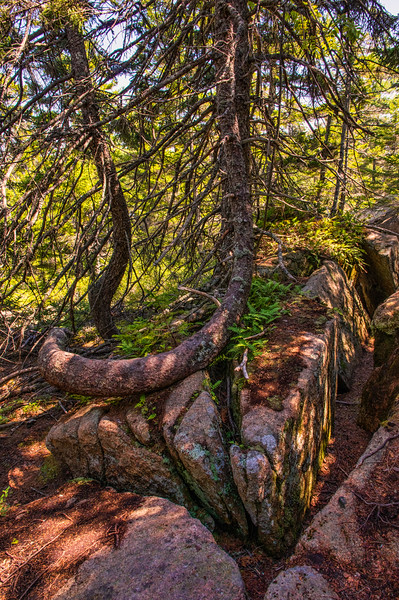 Flying Mountain Loop Trail Tree Trunk, Acadia National Park, Maine