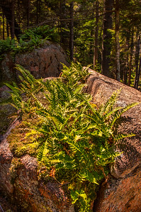 Flying Mountain Loop Trail Ferns 2, Acadia National Park, Maine