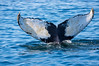 Bottleneck's Tail 2, Bar Harbor Whale Watch Tours