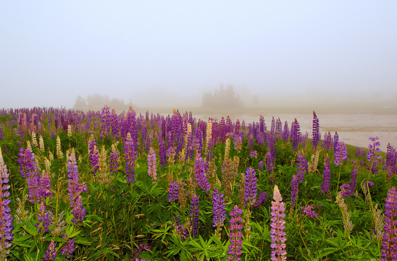 Manset Lupines, Acadia National Park, Maine