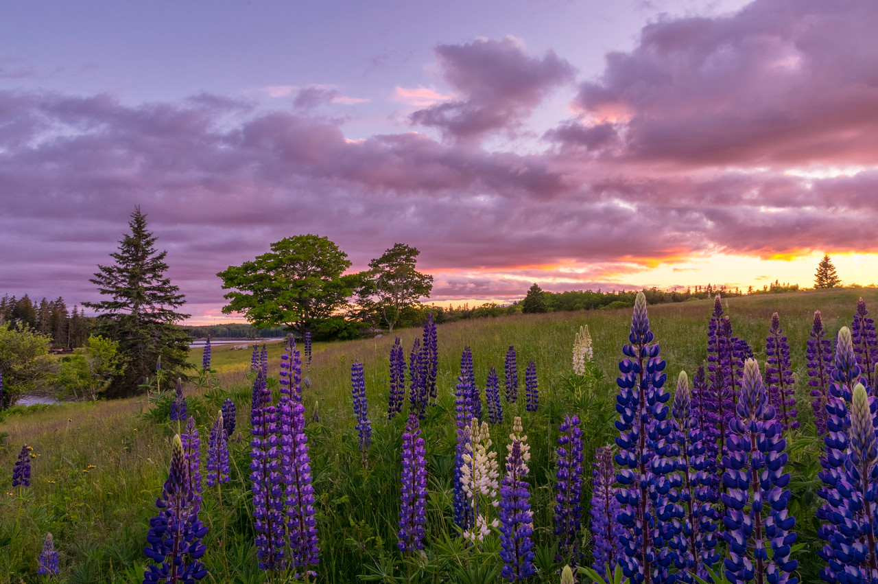 Sunshine Road Lupines, Deer Isle, Maine