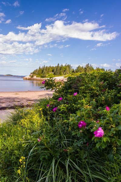 Sand Beach Roses, Stonington, Maine