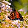 Monarch Butterfly, Kettle Cove, Cape Elizabeth, Maine
