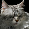 Sleeping Maine Coon Cat