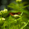 Painted Lady Butterfly<br /> Coastal Maine Botanical Gardens<br /> Boothbay Harbor, Maine