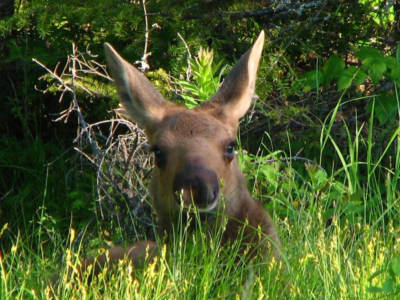 Moose Calf, waiting for Mom<br /> Lily Bay Road, Moosehead Lake area