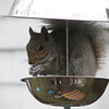 "Seamus the squirrel, enjoying a snack in my ""squirrel-proof birdfeeder.""  I took the shot to send to the company that made it, only to discover that it had gone out of business since I bought it.  Small wonder. . ."