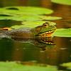 Gilsland Farms Bullfrog<br /> Falmouth, Maine