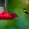 Hummingbird at the Feeder<br /> Portland, Maine