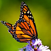 Monarch Butterfly, Kettle Cove, Cape Elizabeth, Maine