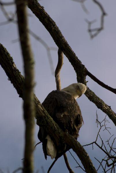Bald Eagle<br /> Blue Hill, Maine