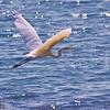Snowy Egret, Back Bay, Portland, ME