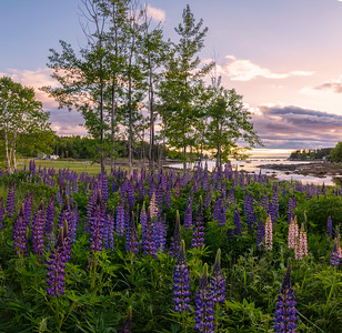 Burnt Cove Lupine Vertorama, Deer Isle, Maine