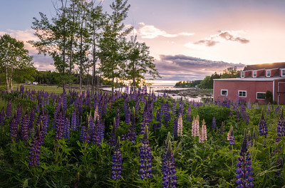 Burnt Cove Lupine Field, Deer Isle, Maine