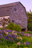 Deer Isle Barn and Lupine Field