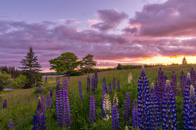 Sunshine Road Lupines at Sunset, Deer Isle, Maine