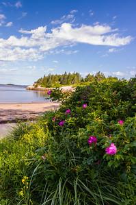 Sand Beach Roses, Deer Isle, ME